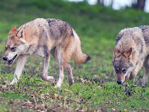Wolfstouren